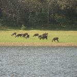 wild deer on the other side of lake