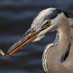 Great Blue Heron WITH Minnow at Edwin B Forsythe NWR by Angel Cher