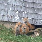  Friendly Fox with pups.