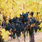 Dripping with Grapes, just before harvest