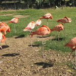 Wildlife World Zoo - Flamingos