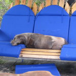 resident sea lion on deck of Adventura Lodge