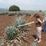 "Trying to do the ""jima"" of the agave"