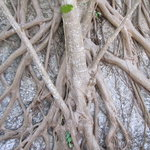 Tree roots on the coral