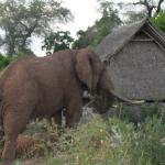 Jacko - the elephant visting our safari camp