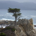 Oldest Cypress Tree on Carmel Coast