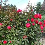 The rose garden of Canela