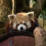  Red Pandas at Paignton Zoo
