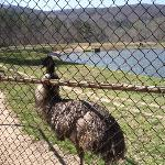 Emu with donky in background