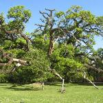 Live oak across the street