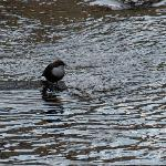  Dipper Taken from the terrace at Town Mills