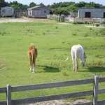 Ocracoke Pony Pens