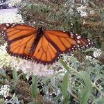  Butterfly bush