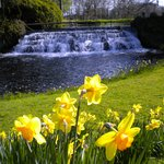 weir and daffodils