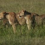 Lions 100meters from camp