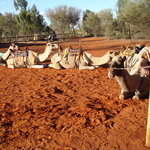 Uluru Camel Tours