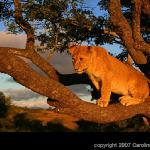 5 month old lion in a tree