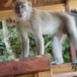  monkeys come by the balcony for a visit