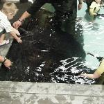 The 300kg Ray at feeding time