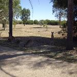 Kangaroos in the motel grounds