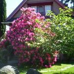 Rhododendron at house two doors over