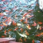 The koi while being fed (the restaurant sells fish food, do not feed them anything else!)
