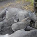  BABY RHINOS AND WHARTHOGS