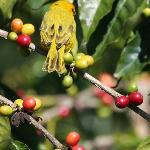 Saffron Finch on a coffee tree.