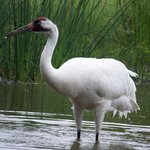 North American Whooping Crane