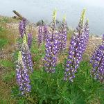 Lupines all over the place