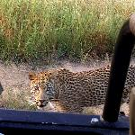  One of the leopards we saw... the young Madura (spelling?)...