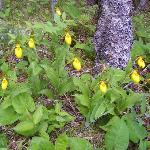 Door County Wildflowers (Yellow Lady Slippers)