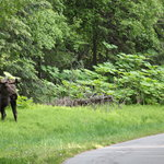 Close encounter of the Moose kind