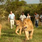 "The Ranch Resort - ""Walk with Lions"" Experience"