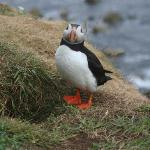 Puffins on Treshnish Isles