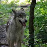 Wild wolves (Using a zoom lens)