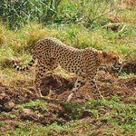 cheetah in Tsavo west
