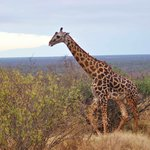 Girafe in Tsavo west