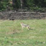 Hard to see, but a cooyote getting its breakfast in the meadow