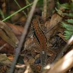  A. Lizzard
