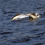 Dolphins by Funchal