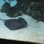 Stingray at the Albuquerque Aquarium
