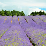 The Snowshill Lavender Farm - an amazing place (and smell) in the summer!