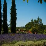 The lavendar garden
