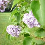 Lilac trees in bloom