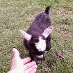 sweet little girl goat