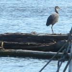 Blue Heron across from the B&B