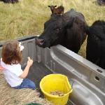  feeding cake to the herd