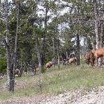 Elk across road from campground