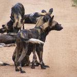  Pack of Wild Dogs (really scary)